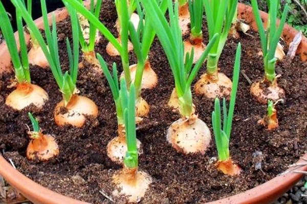 yeşil soğan nasıl yetiştirilir