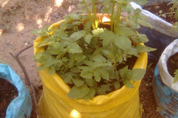 patates nasıl yetişir