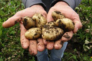 Çuvalda Patates Nasıl Yetiştirilir? 4 Kolay Adım Tarifi