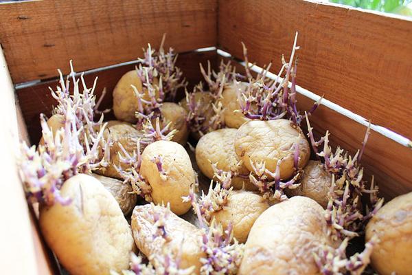 patates nasıl yetiştirilir resimli