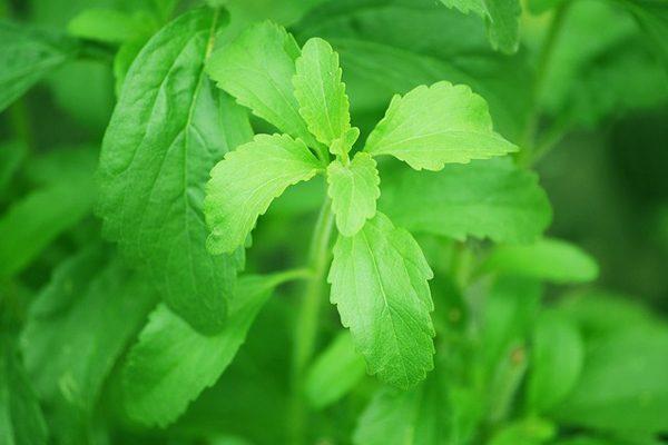 Doğal Tatlandırıcı Stevia Nedir? 5 Şaşırtan Faydası Tarifi