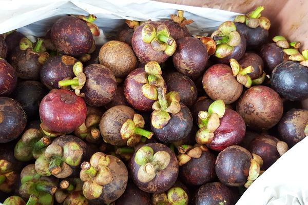mangosten meyve nedir