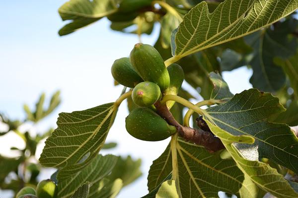 incir yaprağı faydaları