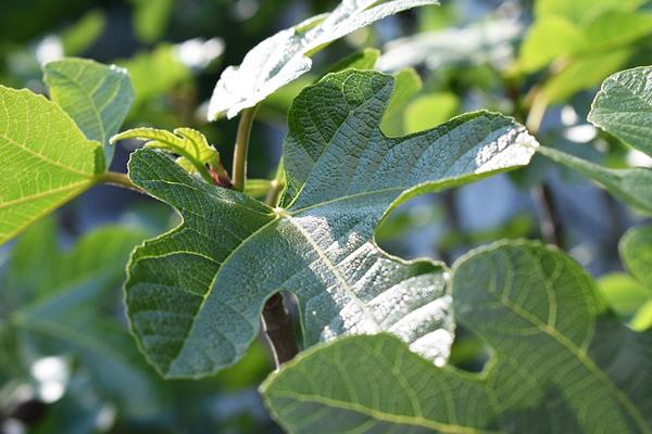 incir yaprağı şeker hastalığı