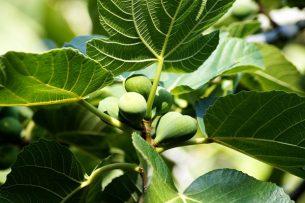 incir yaprağı