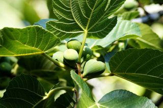 İncir Yaprağının Bilmediğiniz 10 Faydası Tarifi