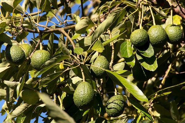 avokado yaprağı faydası