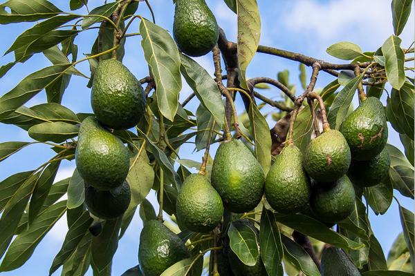 avokado yaprağı