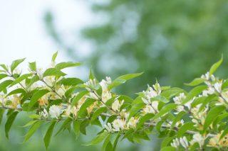 Hanımeli Çiçeğinin Bilmediğiniz 6 Faydası Tarifi