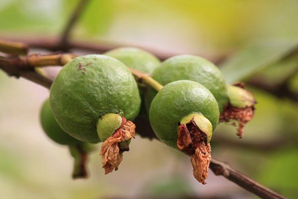 guava ağacı