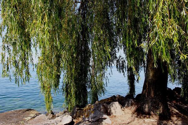 söğüt ağacı faydaları