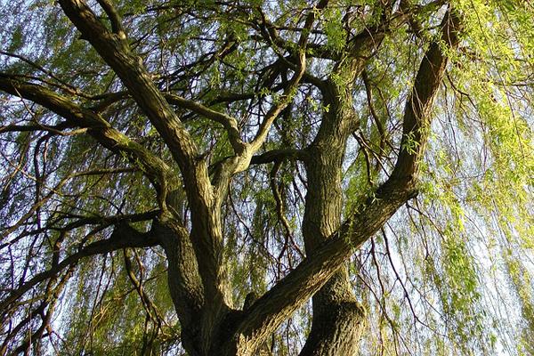 söğüt ağacının özellikleri