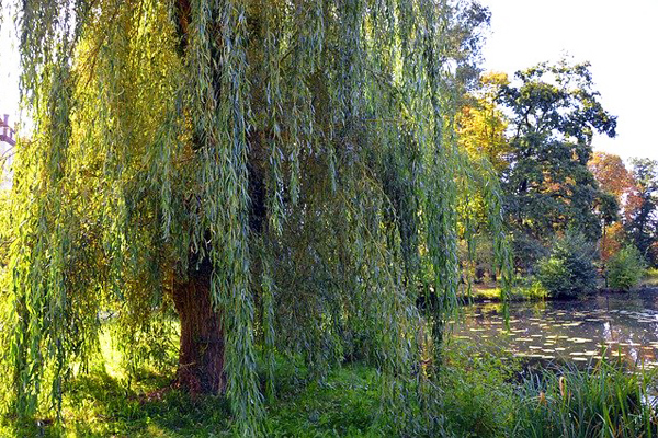 söğüt ağacı yaprağı