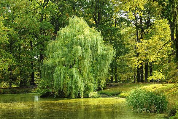 Söğüt Ağacının Bilmediğiniz 8 Faydası Tarifi