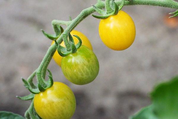 sarı domates fidesi