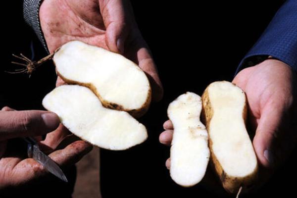 beyaz fianna patates
