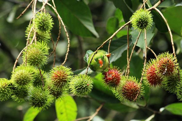 rambutan meyvesi türkiye