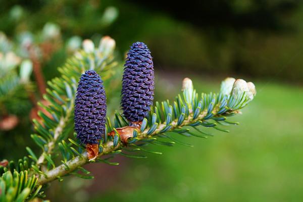 köknar ağacı özellikleri