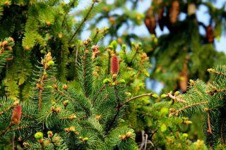 Köknar Ağacı: Hiç Duymadığınız Özellikleri, Faydaları Tarifi