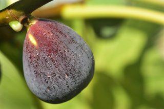 İncir Sütünün Cildinize İyi Gelecek 8 Faydası Tarifi