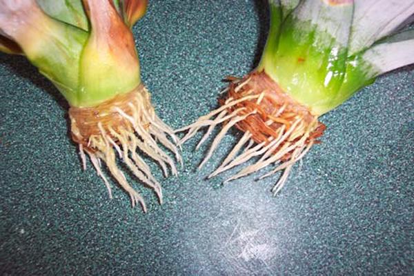 ananas yetiştirme