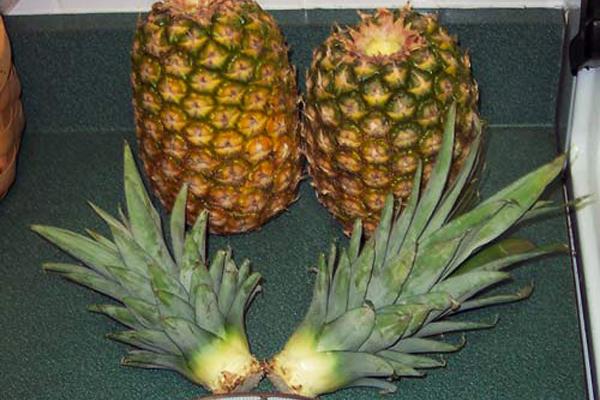 ananas nasıl yetişir