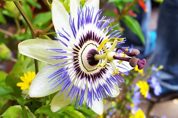 passiflora faydası
