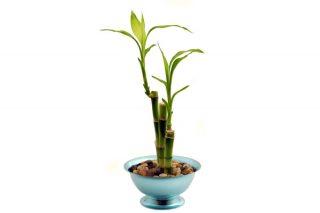 Evde Bambu Nasıl Yetiştirilir? Resimli 4 Adım Tarifi