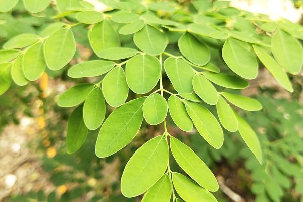 moringa bitkisinin faydaları