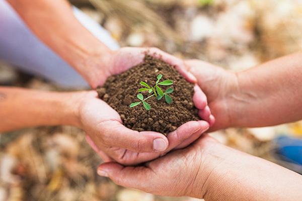 nane tohumu nasıl ekilir