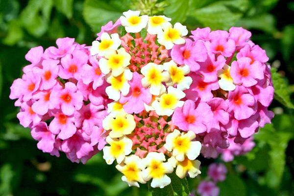 mine çiçeği bakımı
