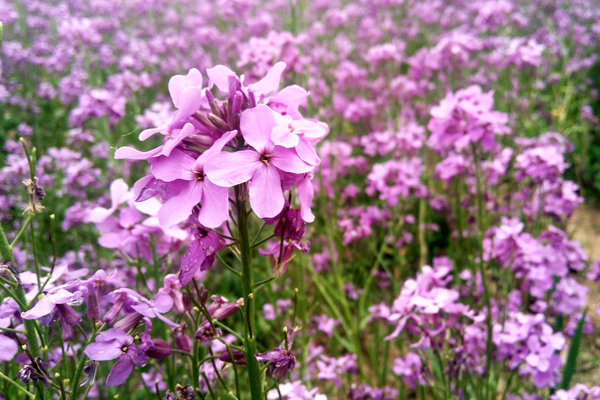 mine çiçeği faydaları