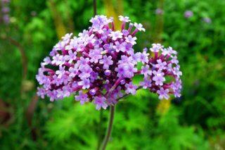 4 Adımda Mine Çiçeği Bakımı, Faydaları Tarifi
