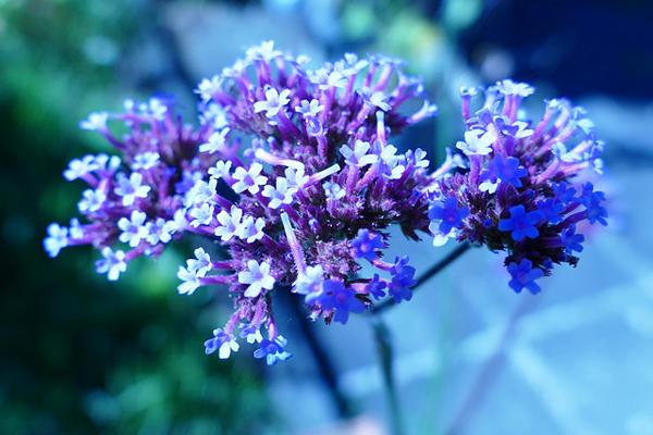 mine çiçeği hikayesi