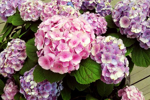 ortanca çiçeği