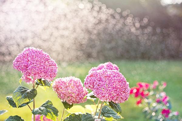 ortanca çiçeği sulama