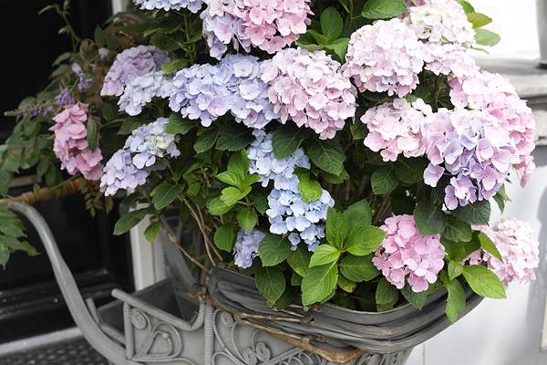 Ortanca Çiçeği Bakımı: 4 Kolay Adım Tarifi