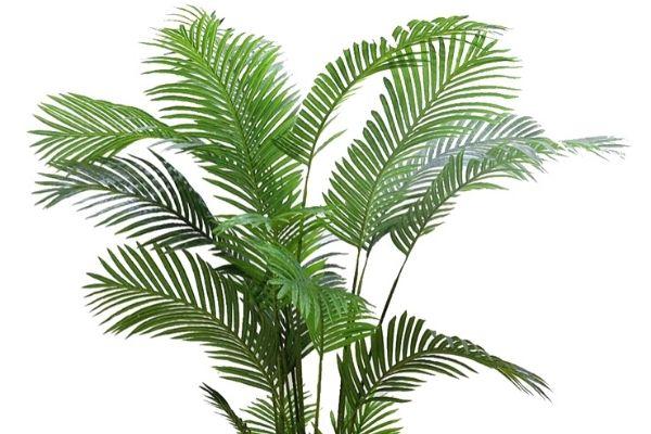 Areka Palmiyesi Bakımı Püf Noktaları Tarifi