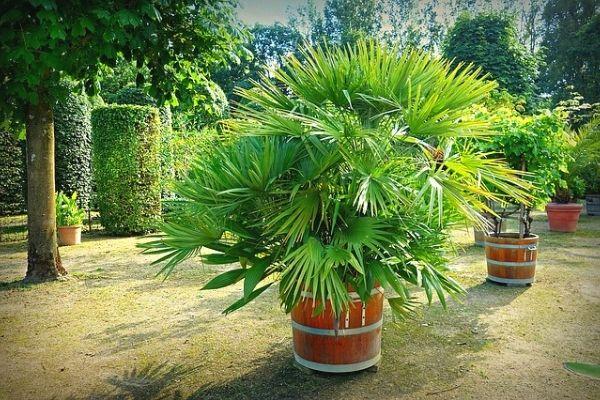 areka palmiyesi nasıl çoğaltılır