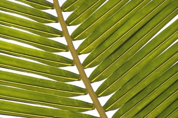 areka palmiyesi büyüme hızı
