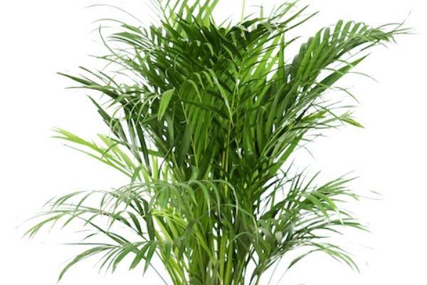 areka palmiyesi bakımı