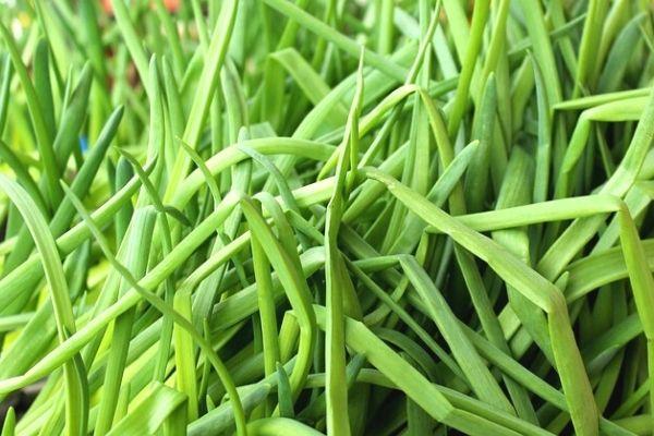 frenk soğanı tohumu
