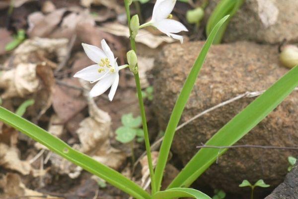 kurdele çiçeği çeşitleri