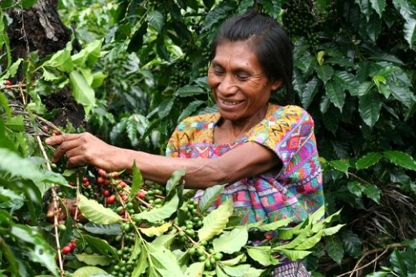 guatemala kahvesi