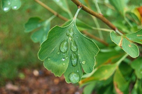 mabet ağacı yaprağı