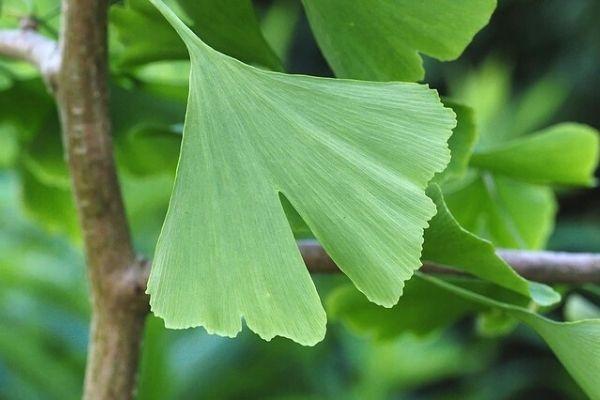 mabet ağacı yaprağı faydaları