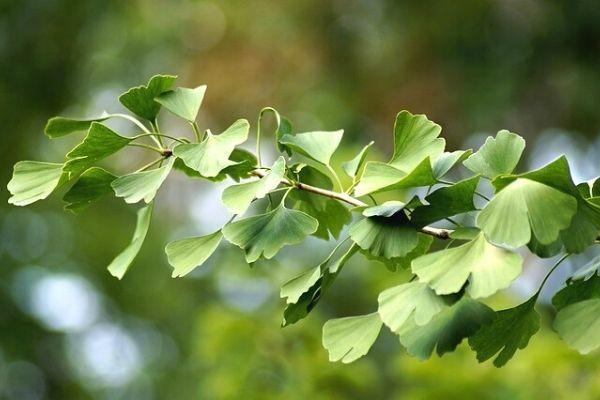 Mabet Ağacı Yaprağının 6 Önemli Faydası Tarifi