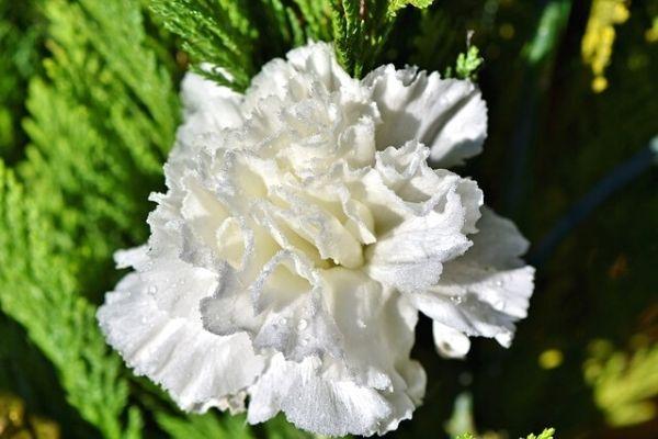 karanfil çiçeği bakımı
