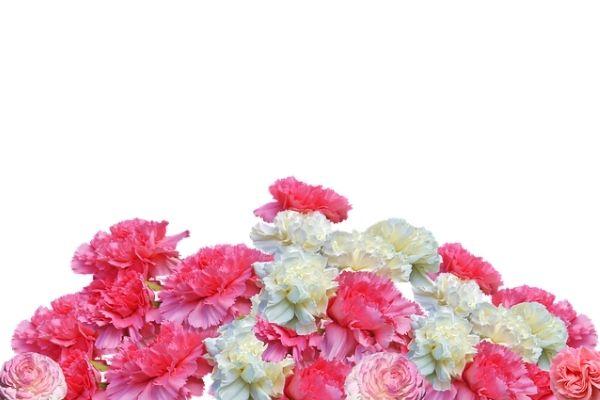 Karanfil Çiçeği: Bakımı, Anlamı, Çeşitleri Tarifi