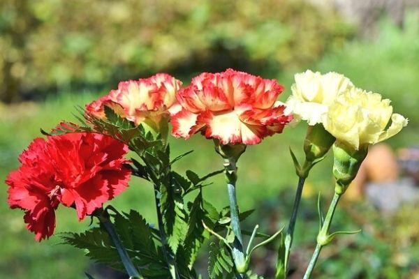 karanfil çiçeği hakkında bilgi